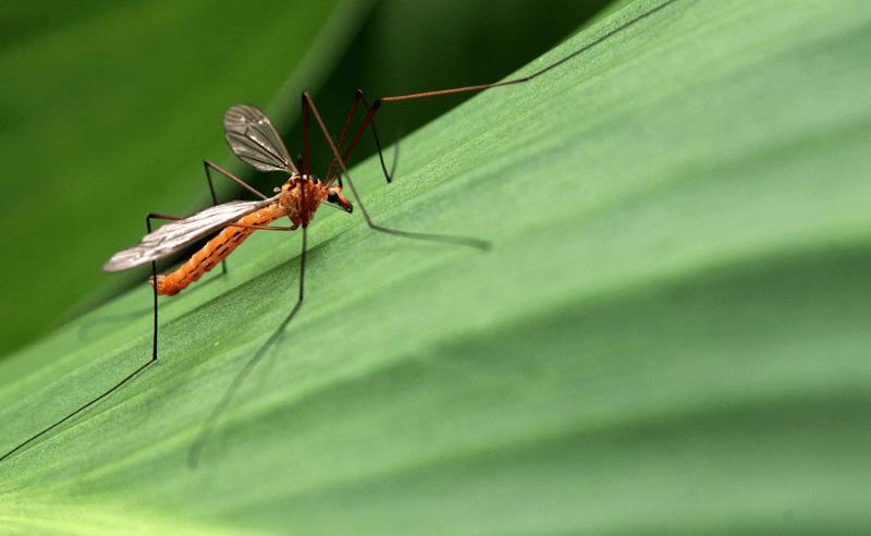 The Chikungunya Virus is in the Caribbean